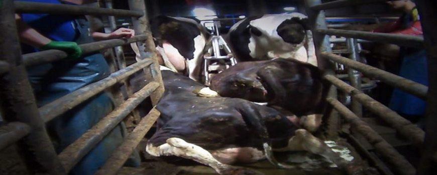 """Sokkoló és megdöbbentő hírek a tejiparban """"elhasznált"""" tehenekről!"""